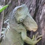 Iguanas unbound