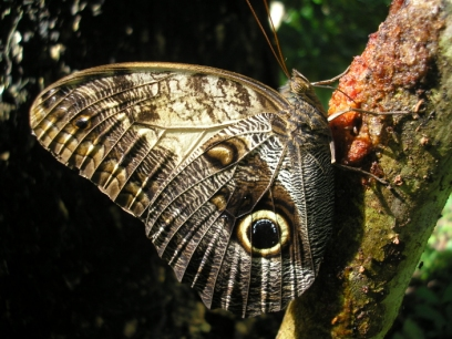 Caligo telamonius (photo: Hilary Erenler)