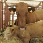 Export beef cattle are properly tagged and identified and cannot come from reserves. Photo: El19Digital.com